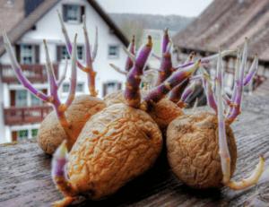natürliche Kartoffeln